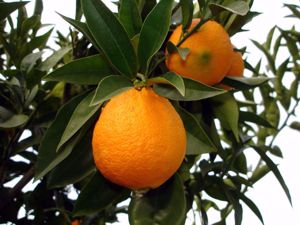 Pomerančovník sladký (Citrus aurantium dulcis)